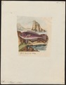 Scarus cretensis - 1833-1839 - Print - Iconographia Zoologica - Special Collections University of Amsterdam - UBA01 IZ14000009.tif