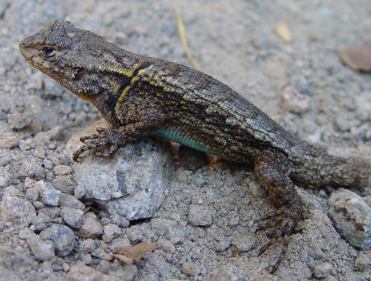 U S Lizard Sceloporus gram...