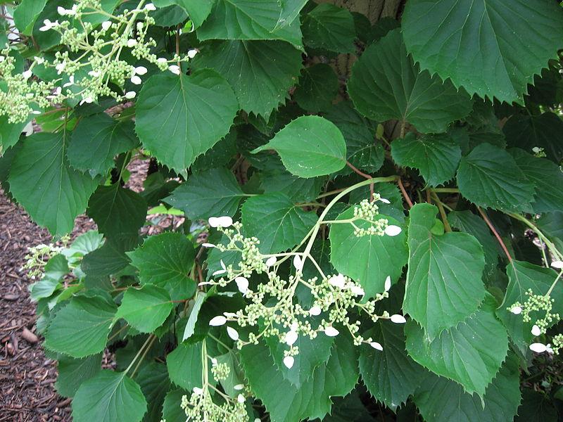 fleurs et feuille du schizophagma hydrangeoide