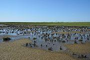 Schleswig-Holstein, Neufelderkoog, Biosphärenreservat Schleswig-Holstein Wadden Sea and adjacent areas NIK 7209.jpg