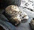 Schneelopard (Uncia uncia).jpg