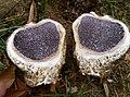 Scleroderma polyrhizum (J.F. Gmel.) Pers 691428.jpg