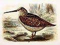 Scolopax rusticola 1869.jpg