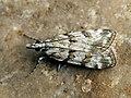 Scoparia pyralella - Meadow grey (39036658640).jpg
