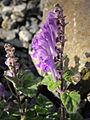 Scutellaria indica parviflora 3.JPG