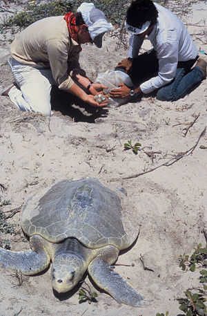 Ridley sea turtle - Researchers collect  Kemp's ridley sea turtle eggs.