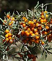 Seabuckthorn berries, Nubra valley, Ladakh.jpg