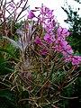 Seeding fireweed (Chamerion or Epilobium angustifolium) - geograph.org.uk - 915952.jpg