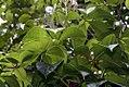 Selaginella pallescens 2zz.jpg