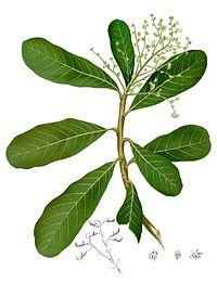 Semecarpus microcarpa Blanco1.75-cropped