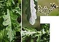 Senecio glomeratus (Annual Fireweed) (24371975113).jpg