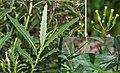 Senecio minimus (Shrubby Fireweed) (24368197034).jpg