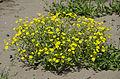 Senecio vernalis - Eastern groundsel - Kanaryaotu 02.jpg