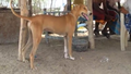 Sengottai dog shenkottah dog similar to ramnad mandai dog.png