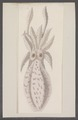 Sepia officinalis var. b - - Print - Iconographia Zoologica - Special Collections University of Amsterdam - UBAINV0274 090 07 0007.tif