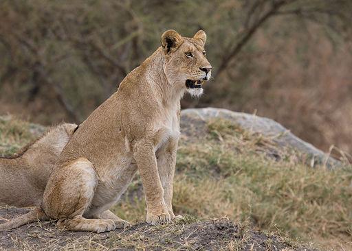 Serengeti Loewin1