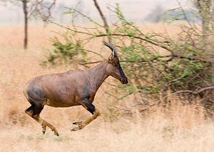 same topi antelope, landscape format