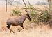 Serengeti Topi5.jpg