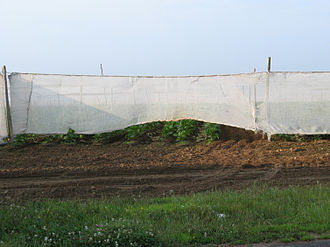 Types of tobacco - Shade grown tobacco field in East Windsor, Connecticut