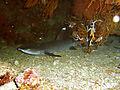 SharmWeissspitzenriffhai.jpg
