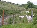 Sheep, Meenagraun - geograph.org.uk - 1430499.jpg