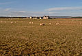Sheep near Ballinreich (farm), Gollanfield - geograph.org.uk - 281069.jpg
