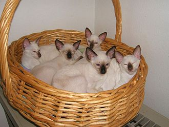 Siamese cat - Seal point Siamese kittens.