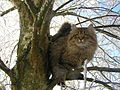 Siberian male in tree.JPG