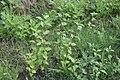 Sida rhombifolia plant7 (15957650787).jpg