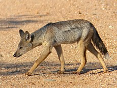 Side-striped Jackal (Canis adustus)- rare sighting of this nocturnal animal ... (13799182833).jpg