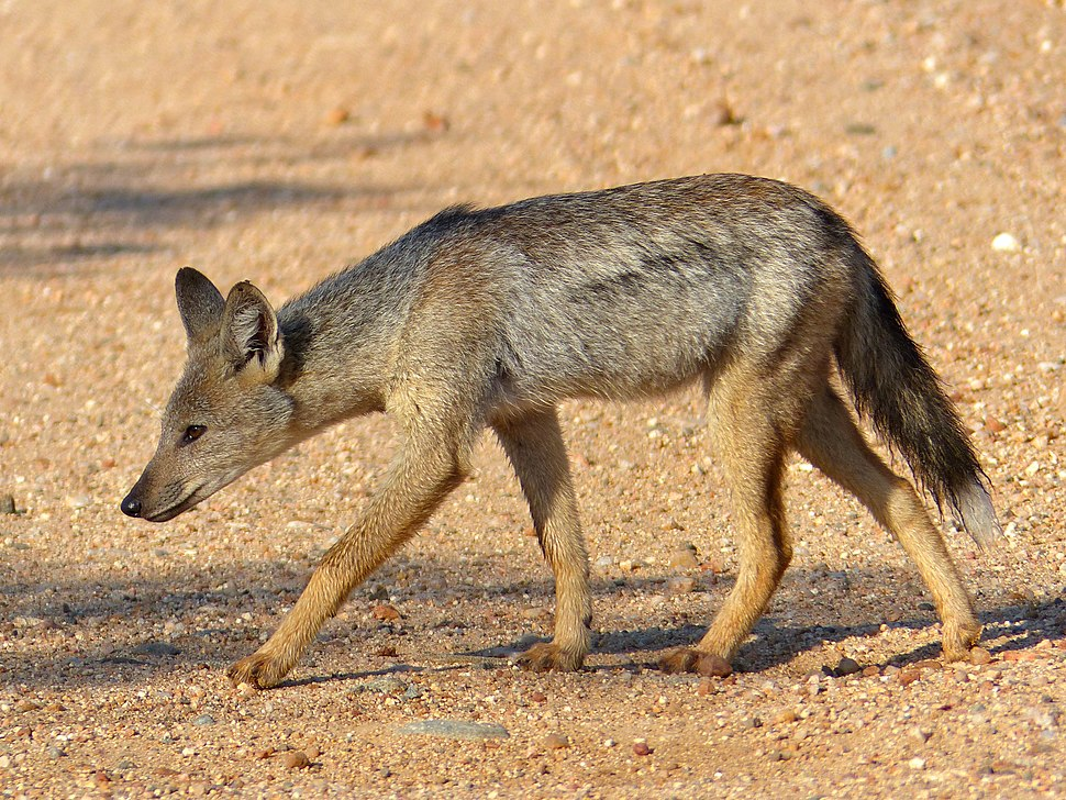 Side-striped Jackal (Canis adustus)- rare sighting of this nocturnal animal ... (13799182833)