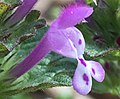Side view of henbit deadnettle flower.jpg