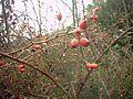 SierraMadrona Rosa canina fruto.jpg