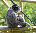 Silbergibbon Hylobates moloch Tierpark Hellabrunn-1.jpg