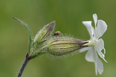 Wikijunior:Summer Flowers of Northern New England/Silene ...