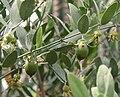 Simmondsia chinensis 01.jpg