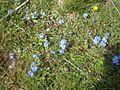 Sini cvetovi vo Galicnik.jpg