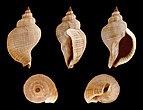 Siphonalia trochulus trochulus 01.JPG
