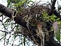 Sissortail Flycatcher Nest with Trotline Hook (17515989).jpg