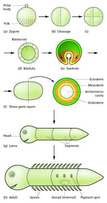 Developmental biology - Wikipedia