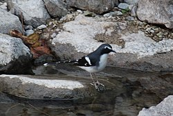 Slaty-backed Forktail (15302662954).jpg
