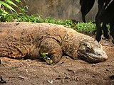 Sleeping komodo.jpg