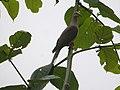 Slender-billed Cuckoo-Dove (2876397472).jpg
