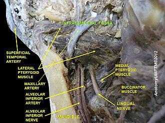 Infratemporal fossa - Image: Slide 4dddd