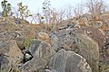 Sloth bear and leopard residing together.jpg
