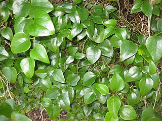 <i>Smilax rotundifolia</i> species of plant