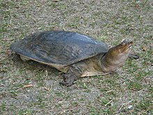 Snoutnosed turtlePicture 203.jpg