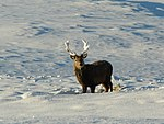 File:Snow-decorated Stag - geograph.org.uk - 1654301.jpg