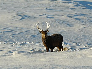 English: Snow-decorated Stag Like all the wild...