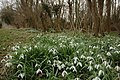 Snowdrops at Toddington - geograph.org.uk - 1199513.jpg